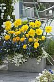 Grauer Kasten mit Narzissus (Narzissen), Ranunculus (Ranunkeln), Myosotis
