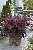 Loropetalum chinense 'Fire Dance' (Riemenbluete) , duftende Kübelpflanze