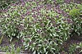 Pulmonaria 'Silver Bouquet' (Lungenkraut) mit silbrigen Blättern