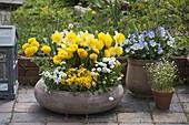 Terracotta - Schale mit Narcissus 'Goblet' (Narzissen), Tulipa 'Yellow Flight'