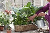 Frau giesst Korbkasten mit Kohlrabi (Brassica) und Petersilie (Petroselinum)
