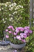 Rhododendron yakushimanum 'Silberwolke' (Alpenrose)