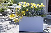 Pastell-fliederfarbener Kasten mit Narcissus 'Goblet' (Narzissen), Genista pil