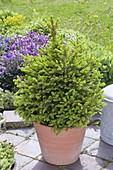 Picea abies 'Will's Zwerg' (Zwerg-Fichte) mit frischem Austrieb im Mai