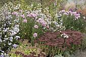 Herbstbeet mit Aster (Herbstastern) und Sedum telephium (Fetthenne)