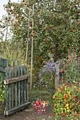 Apfelbaum Sorte 'Berner Rosenapfel' (Malus), 1888 im Kanton Bern gefunden