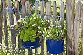 Maiengruen : blaue Emaille-Gefaesse bepflanzt mit Bellis perennis