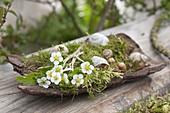 Maiengruen : Baumrinde mit Blüten und Blättern von Erdbeere (Fragaria)
