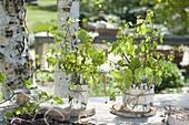 Maiengruen : kleine Straeusse aus Zweigen von Betula (Birke) in Gläsern