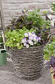 Korb mit Asia - Salaten , Petersilie (Petroselinum) und Viola cornuta