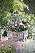 Korb mit Rosa chinensis (China-Rose, Zwergrose), Thymian