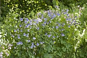 Aquilegia caerulea 'Himmelblau' (Akelei) im Garten