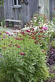 Chrysanthemum coccineum 'Robinson's Red' (Feuermargerite, Bunte Margerite