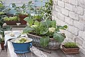 Korbkasten mit Mini-Blumenkohl 'Multi-Head' (Brassica) und Tagetes