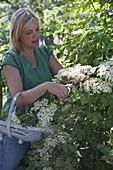 Frau schneidet Blüten von Holunder (Sambucus nigra) zum trocknen für Tee