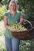 Frau mit frisch geernteter Kamille (Matricaria chamomilla) im Korb