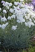 Dianthus gratianopolitanus 'Ohrid' (Pfingstnelke)