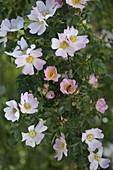 Rosa canina (Hundsrose) , Blüte mit Honigbiene (Apis mellifica)
