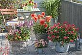 Sommerliche Balkonbepflanzung mit Pelargonium capitatum 'Concolor Lace'