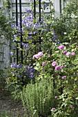 Clematis 'Juuli' (Waldrebe) an Rankstele, Rosa 'Loiuse Odier' (Rose)