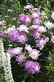 Paeonia lactiflora 'Bowl of Beauty' (Edel - Pfingstrose)
