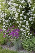 Duftende Rosa multiflora (Vielblütige Rose), Silene armeria