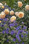 Rosa 'Lady of Shalott' (Englische Rose) von David Austin, oefterbluehend