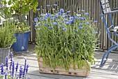 Kornblumen im Holzkasten ziehen