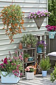 Balkon mit Ampeln : Petunia 'Raspberry Blast' (Petunien), Lotus maculatus