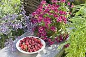 Teller mit frisch gepflueckten Erdbeeren ( Fragaria ) und Himbeeren