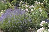 Lavendel 'Munsted' (Lavandula angustifolia) neben Rosa (Rose)