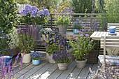 Blauer Stauden-Balkon mit Phlox paniculata 'Violetta Gloriosa' (Flammenblumen