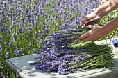 Lavendel - Ernte im Bauerngarten