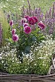 Dahlia 'Diabolo' (Dekorative Dahlie), Salvia nemorosa 'Amethyst'