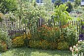 Helenium Hybride 'Waltraut' 'Wyndley' (Sonnenbraut), Tagetes tenuifolia
