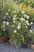 Topfgruppe auf Kiesterrasse : Daucus carota (blühende Möhre)