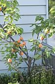 Aprikosenbaum (Prunus armeniaca) und Oregano (Origanum)