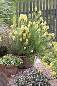 Linaria vulgaris (Echtes Leinkraut) in Terracotta - Topf, weisser Sand-Thymian