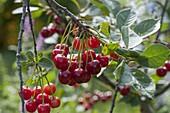 Sauerkirsche (Prunus cerasus) am Zweig