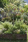 Sauerkirsche (Prunus cerasus) mit Erdbeeren (Fragaria) und Kräutern