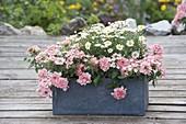Grauer Kasten mit Argyranthemum frutescens (Margeriten) und Verbena