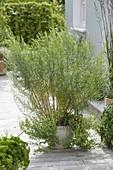 Französischer Estragon (Artemisia dracunculus var. sativus) und Oregano