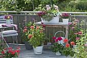 Balkon mit Zinnia (Zinnien), weisse Metall-Jardiniere bepflanzt mit Calibracho