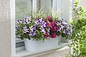 Balkonkasten am Fenster mit Petunia 'Crazytunia Starlight Blue' (Petunien)