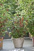 Rote Johannisbeere 'Rolan' (Ribes rubrum) im Korb-Kübel