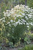 Achillea millefolium (Gemeine Schafgarbe), beliebte klassische Heilpflanze