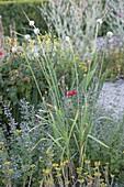 Knoblauch (Allium tuberosum) trägt Brutzwiebeln auf langen Stielen
