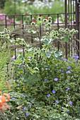 Klette (Arctium lappa syn. Arctium major) und Geranium 'Rozanne'