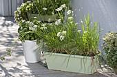 Schnittknoblauch, Knolau, Knoblauch-Schnittlauch (Allium tuberosum)