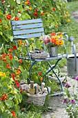 Blauer Stuhl am Zaun berankt mit Tropaeolum (Kapuzinerkresse)